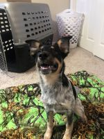 Australian Cattle Dog Puppies for sale in Clovis, CA, USA. price: NA