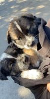 Australian Cattle Dog Puppies for sale in Riverside, CA, USA. price: NA