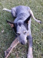 Australian Cattle Dog Puppies for sale in Gibsonton, FL 33534, USA. price: NA