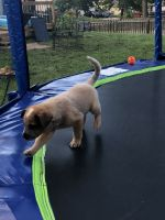 Australian Cattle Dog Puppies for sale in Lee's Summit, MO 64086, USA. price: NA