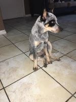 Australian Cattle Dog Puppies for sale in Killeen, TX, USA. price: NA