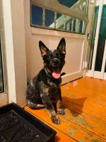 Australian Cattle Dog Puppies for sale in Riverview Rd, Fort Washington, MD 20744, USA. price: NA