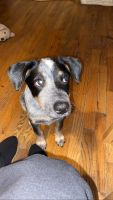Australian Cattle Dog Puppies for sale in New York, NY, USA. price: NA