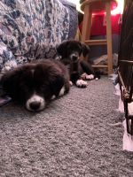 Australian Cattle Dog Puppies for sale in Temple, TX, USA. price: NA