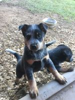 Australian Cattle Dog Puppies for sale in Swansea, SC 29160, USA. price: NA