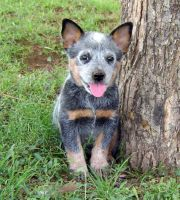 Australian Cattle Dog Puppies for sale in New York, NY 10013, USA. price: NA