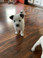 Australian Cattle Dog Puppies for sale in Tacoma, WA, USA. price: NA