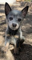 Australian Cattle Dog Puppies for sale in 907 W Franklin Ave, Ridgecrest, CA 93555, USA. price: NA
