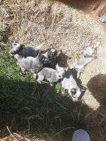 Australian Cattle Dog Puppies for sale in Williamsfield, OH 44093, USA. price: NA