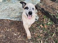 Australian Cattle Dog Puppies for sale in N Lois Ave, Tampa, FL 33609, USA. price: NA