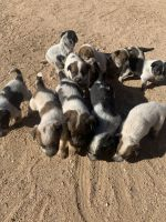 Australian Cattle Dog Puppies for sale in Hesperia, CA, USA. price: NA