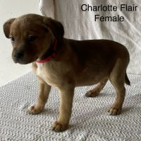 Australian Cattle Dog Puppies for sale in Millersburg, OH 44654, USA. price: NA