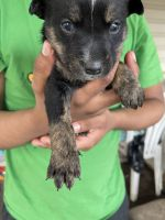 Australian Cattle Dog Puppies for sale in Woodburn, OR 97071, USA. price: NA