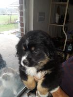 Australian Cattle Dog Puppies for sale in Rockwall, TX, USA. price: NA