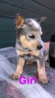 Australian Cattle Dog Puppies for sale in Del Valle, TX 78617, USA. price: NA