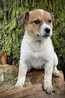 Australian Cattle Dog Puppies for sale in Moberly, MO, USA. price: NA