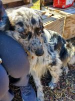 Australian Cattle Dog Puppies for sale in Burns, OR 97720, USA. price: NA
