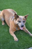Australian Cattle Dog Puppies for sale in Los Lunas, NM 87031, USA. price: NA