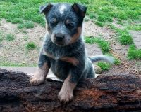 Australian Cattle Dog Puppies for sale in Pleasant View, TN, USA. price: NA