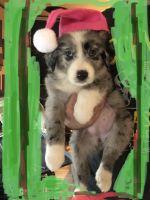 Australian Collie Puppies Photos