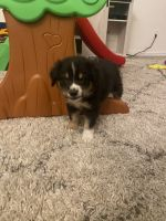 Australian Collie Puppies for sale in Fort Worth, TX, USA. price: NA