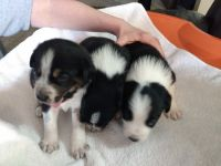 Australian Collie Puppies for sale in Denver, CO, USA. price: NA