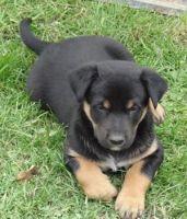 Australian Kelpie Puppies for sale in Beaver Creek, CO 81620, USA. price: NA