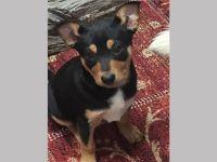 Australian Kelpie Puppies for sale in Austin, TX, USA. price: NA