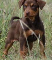 Australian Kelpie Puppies Photos