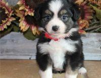 Australian Kelpie Puppies for sale in Seattle, WA 98103, USA. price: NA