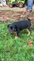Australian Kelpie Puppies for sale in Putnam Valley, NY 10579, USA. price: NA