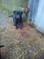 Australian Kelpie Puppies for sale in SC-14, Fountain Inn, SC 29644, USA. price: NA