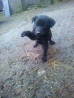 Australian Kelpie Puppies for sale in Ohio City, Cleveland, OH, USA. price: NA