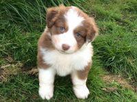 Australian Kelpie Puppies for sale in Seattle, WA, USA. price: NA