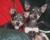 Australian Kelpie Puppies for sale in Los Angeles, CA, USA. price: NA