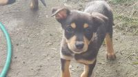 Australian Kelpie Puppies for sale in Indianapolis, IN, USA. price: NA