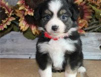 Australian Kelpie Puppies for sale in Central Ave, Jersey City, NJ, USA. price: NA