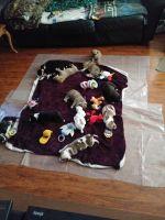 Australian Kelpie Puppies for sale in 2500 Alhambra Ave, Martinez, CA 94553, USA. price: NA