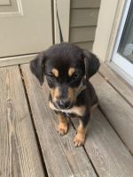 Australian Kelpie Puppies for sale in Durham, NC, USA. price: NA