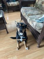 Australian Kelpie Puppies for sale in Joliet, IL, USA. price: NA