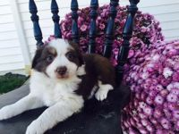 Australian Red Heeler Puppies for sale in Canton, OH, USA. price: NA