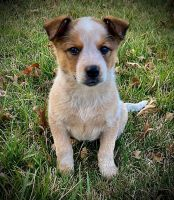 Australian Red Heeler Puppies for sale in Moberly, MO, USA. price: NA