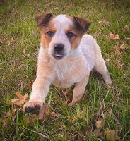 Australian Red Heeler Puppies Photos