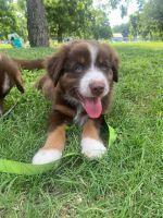 Australian Shepherd Puppies for sale in Austin, TX 78702, USA. price: NA