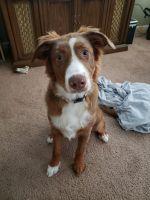 Australian Shepherd Puppies for sale in Detroit Metropolitan Area, MI, USA. price: NA