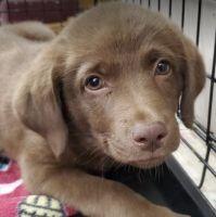 Australian Shepherd Puppies for sale in North/Northwest Phoenix, Phoenix, AZ 85024, USA. price: NA