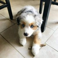 Australian Shepherd Puppies for sale in Los Angeles, CA 90007, USA. price: NA