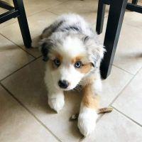 Australian Shepherd Puppies for sale in Texas City, TX, USA. price: NA
