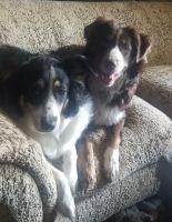 Australian Shepherd Puppies for sale in Harrisonburg, VA, USA. price: NA