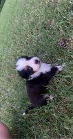 Australian Shepherd Puppies for sale in Pittsburg, OK 74560, USA. price: NA